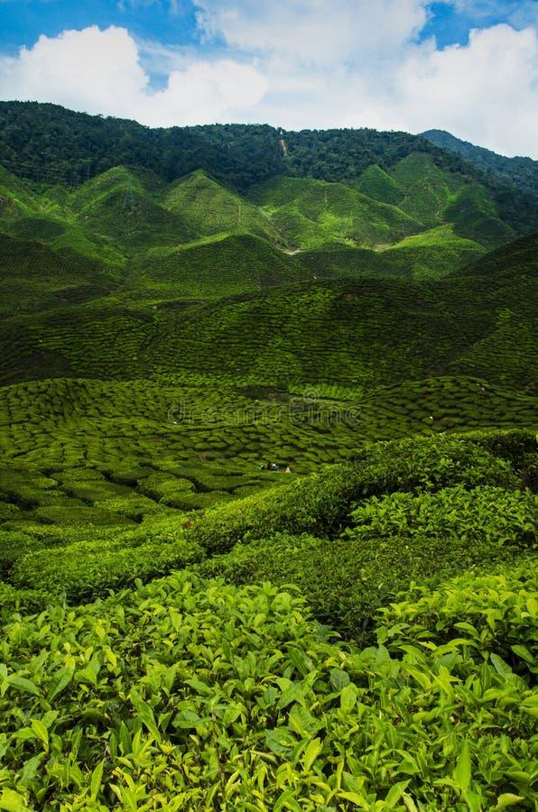 vue de plantation pendant le matin chez Cameron Highland Malaysia image libre de droits