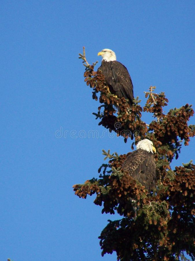 Vue de profil d'Eagle Pair sur le sapin photos stock