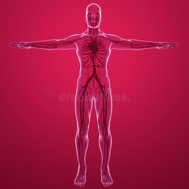 Vue de rayon X de corps humain de l'appareil circulatoire avec des artères et des veines de coeur illustration de vecteur