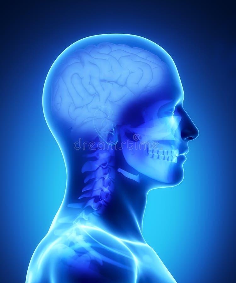 Vue de rayon X de cerveau humain illustration stock