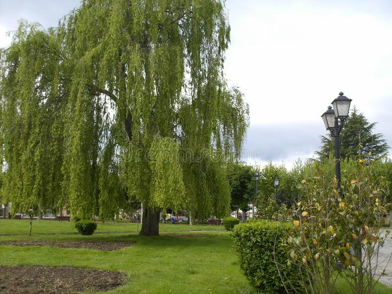 Vue de saule pleurant appelé par arbre photo stock