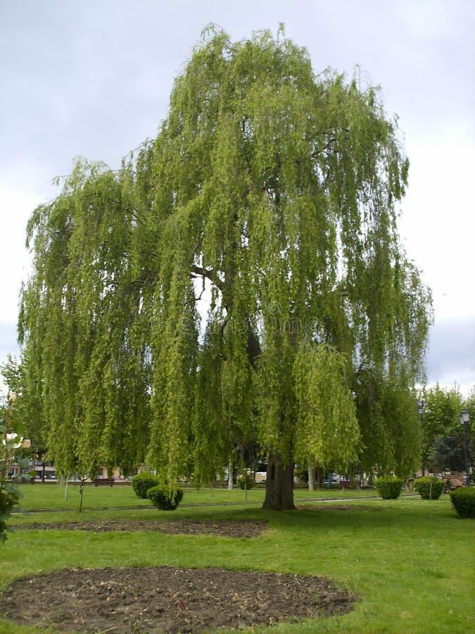 Vue de saule pleurant appelé par arbre photographie stock