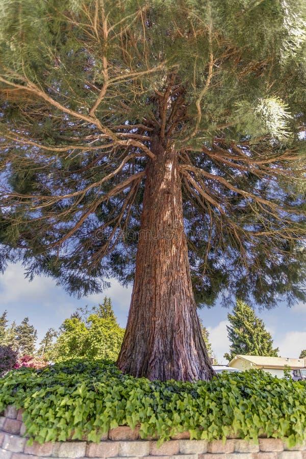 Vue de sous le pin avec de longues branches images stock