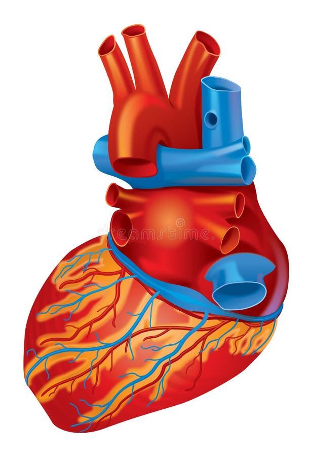 Vue de subordonné de coeur illustration stock