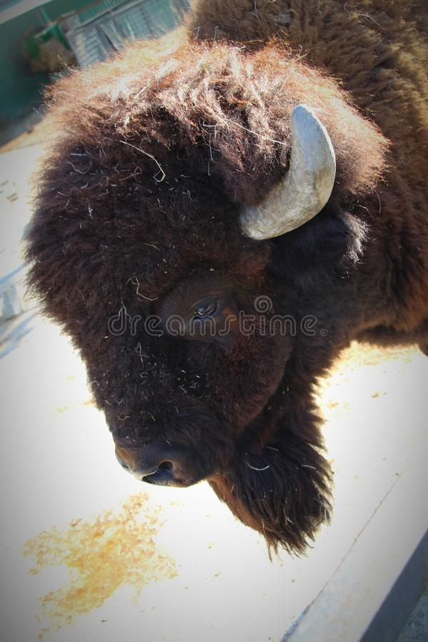Vue de tête d'un grand bison américain photos stock