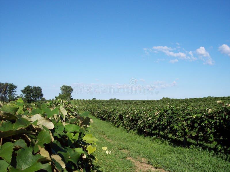 Vue de vigne de raisin image libre de droits