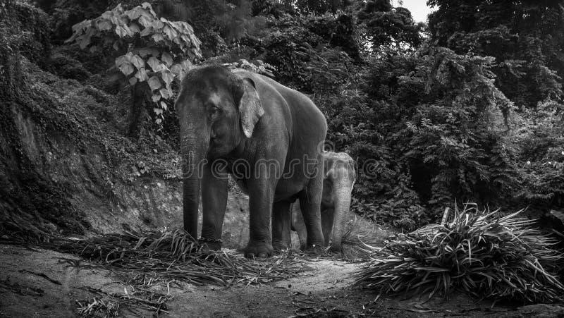 Vue des éléphants mangeant des palmettes sur une colline photos libres de droits