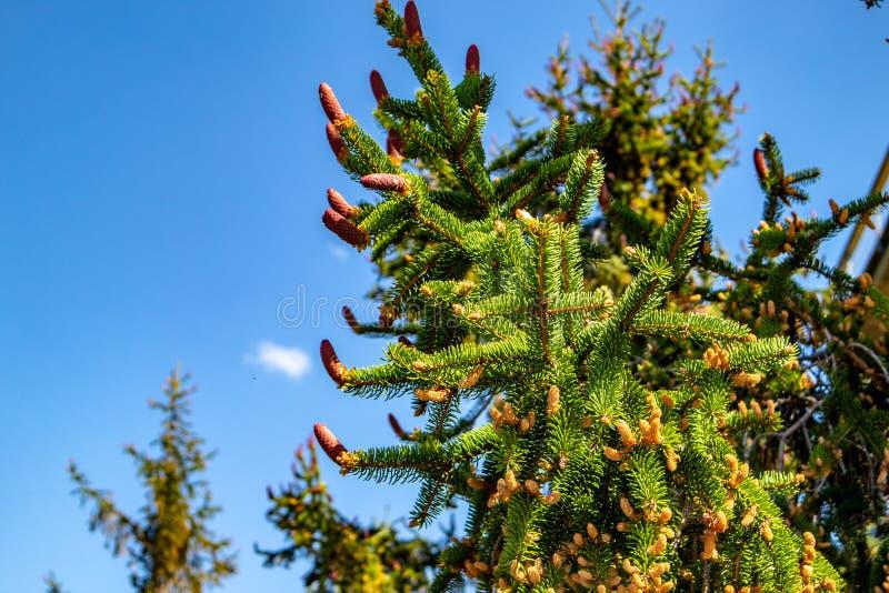 Vue des arbres impeccables avec de jeunes cônes de pin photos libres de droits
