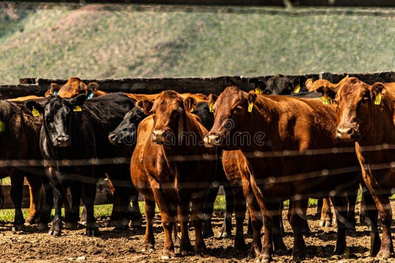 Vue des bétail au ranch de Hunewill photographie stock
