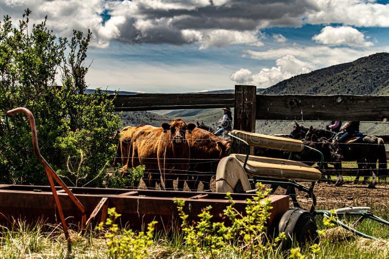 Vue des bétail par un ranch d'At The Hunewill de barrière photographie stock