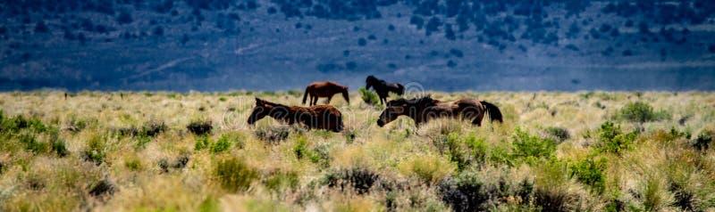 Vue des chevaux sauvages près de la route de prés de Dobie, la Californie photos stock