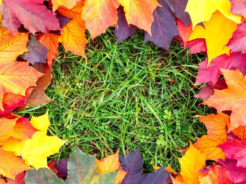Vue des feuilles colorées d'érable sur l'herbe verte Fond d'automne photos libres de droits
