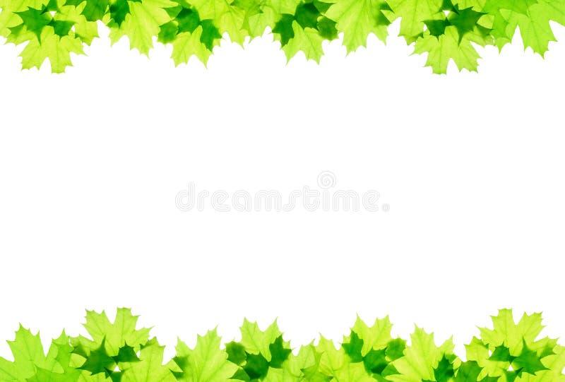 Vue des feuilles vertes d'érable photo libre de droits