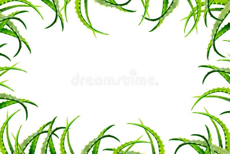 Vue des feuilles vertes de l'usine d'aloès des côtés, d'isolement sur le fond blanc Grande photo photographie stock libre de droits