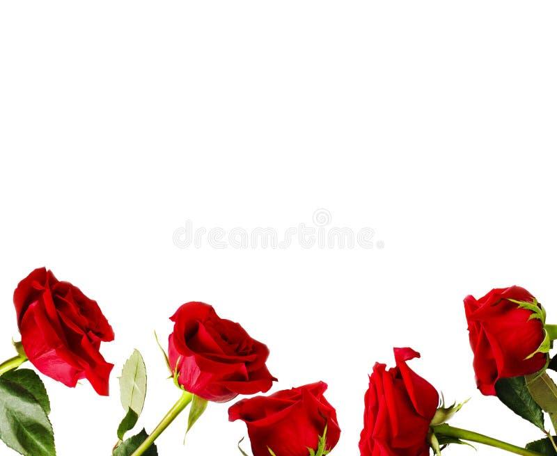 Vue des roses rouges fraîches sur le fond blanc photos stock