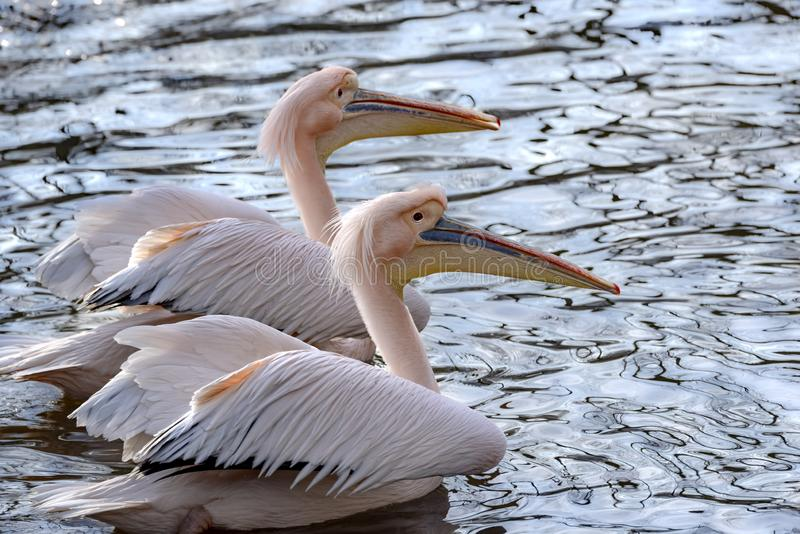 Vue du côté, sur deux pélicans roses nageant paisiblement l'un à côté de l'autre, dans l'eau se reflétante bleue d'un lac au couc images libres de droits