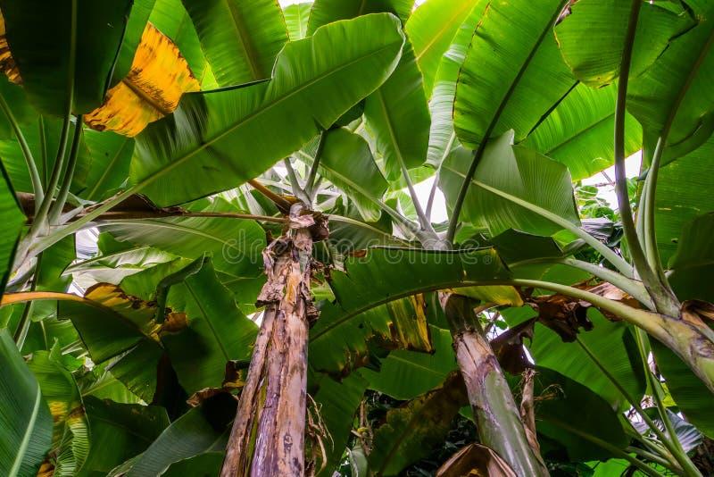 Vue du ciel de nombreuses bananiers, espèces de plantes tropicales d'Asie, nature et horticulture photos stock