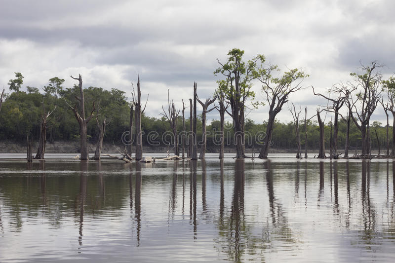 Vue du fleuve Amazone et de végétation locale avec le refle sec d'arbres image stock