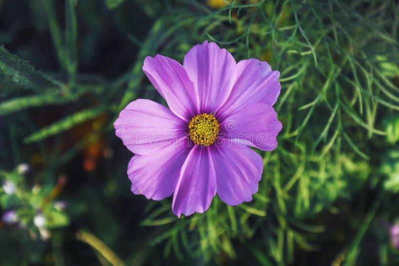 Vue du haut de la grande fleur rose de Zinnia en pleine floraison sur fond flou images stock