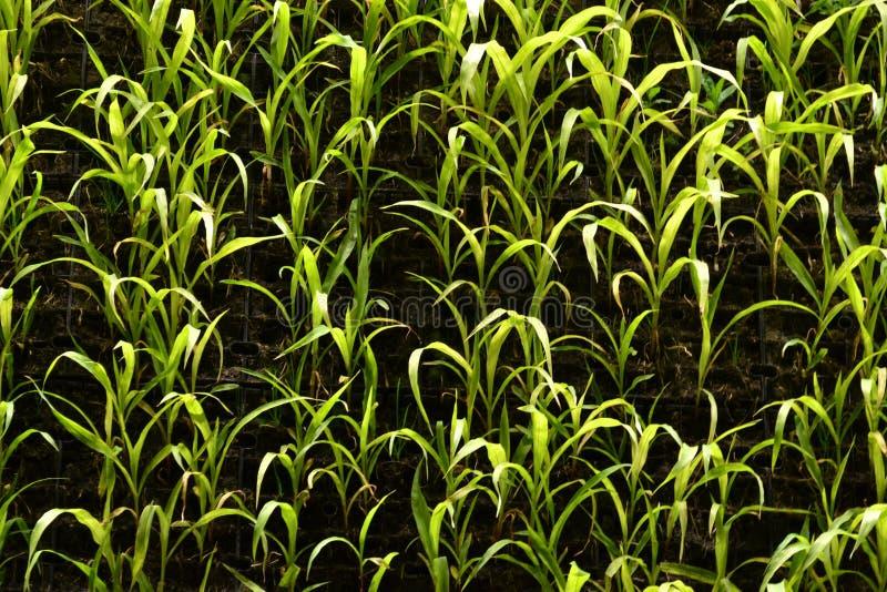 Vue en gros plan à un champ vertical illuminé par nuit pour la culture des usines comme méthode agricole moderne photo libre de droits