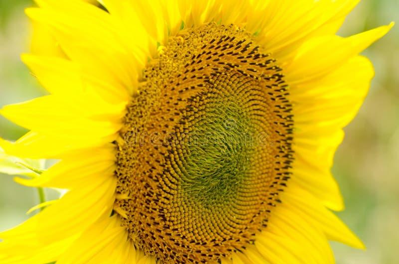 Vue en gros plan d'une jeune fleur de tournesol images libres de droits