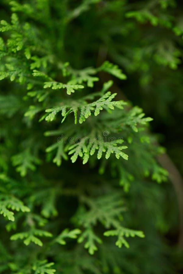 vue en gros plan de belles branches vertes de genévrier, image libre de droits