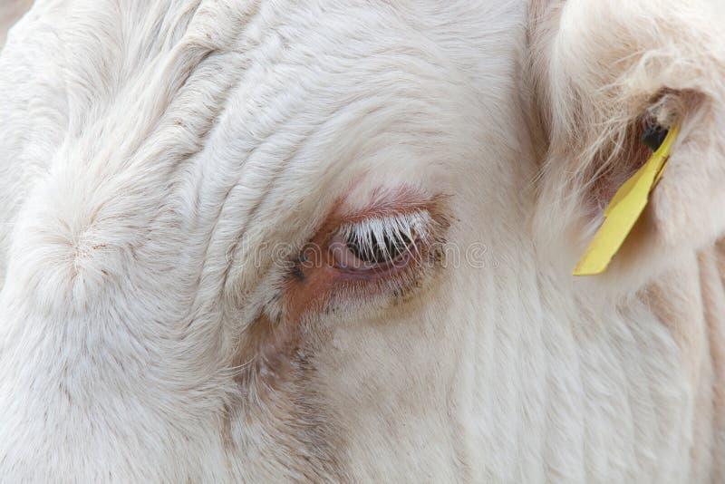 Vue en gros plan de l'oeil d'une vache dans Essex, Royaume-Uni image stock