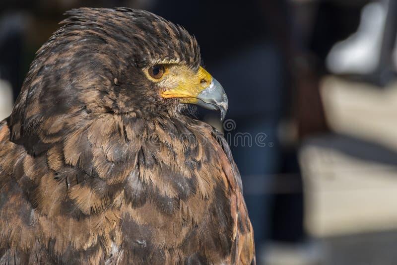 Vue en gros plan de la tête d'un aigle de fauconnerie photo libre de droits
