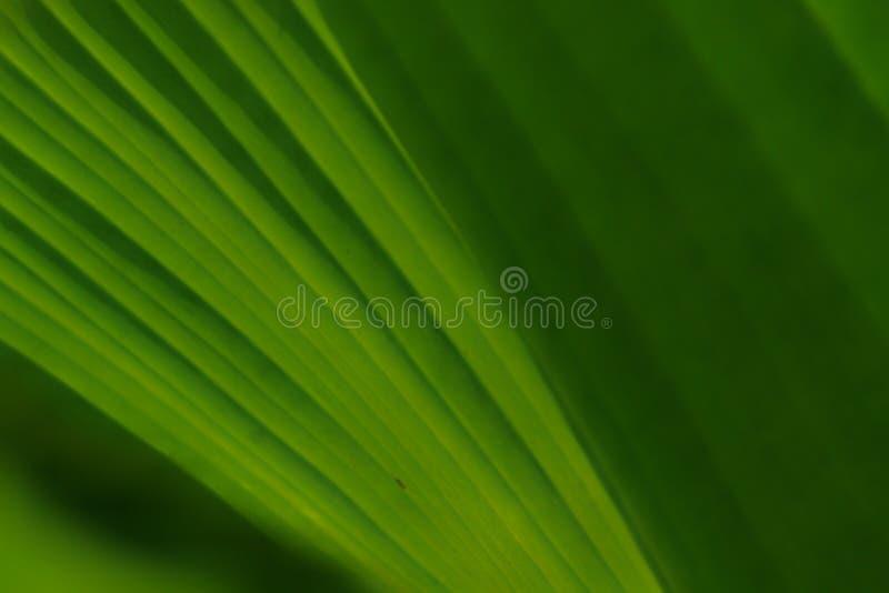 Vue en gros plan de modèle naturel des feuilles vertes fraîches photos libres de droits
