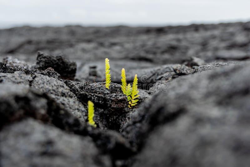 Vue en gros plan de stupéfaction des pousses fraîches d'usine s'élevant hors d'un champ récent d'éruption de lave de Kilauea près photographie stock