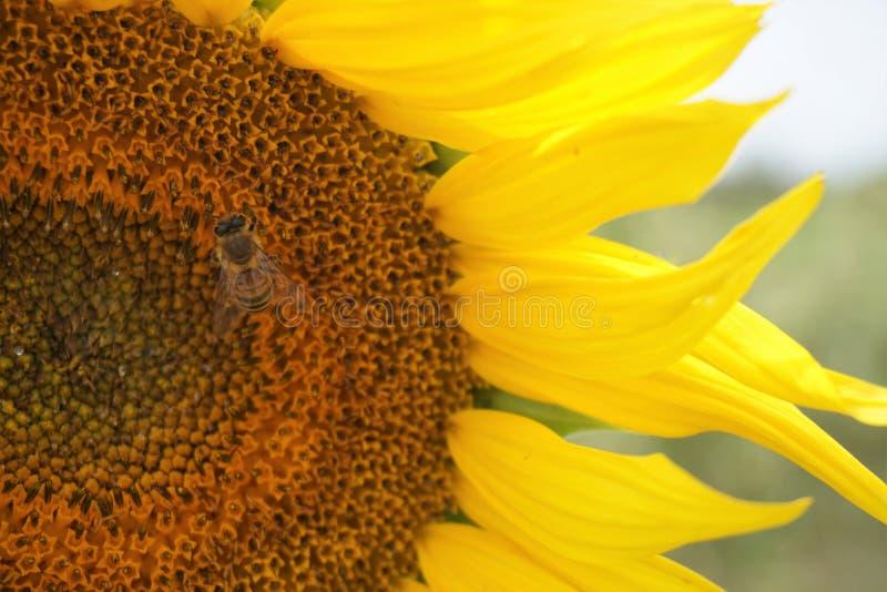 Vue en gros plan de tournesol et d'abeille avec le fond brouillé images libres de droits