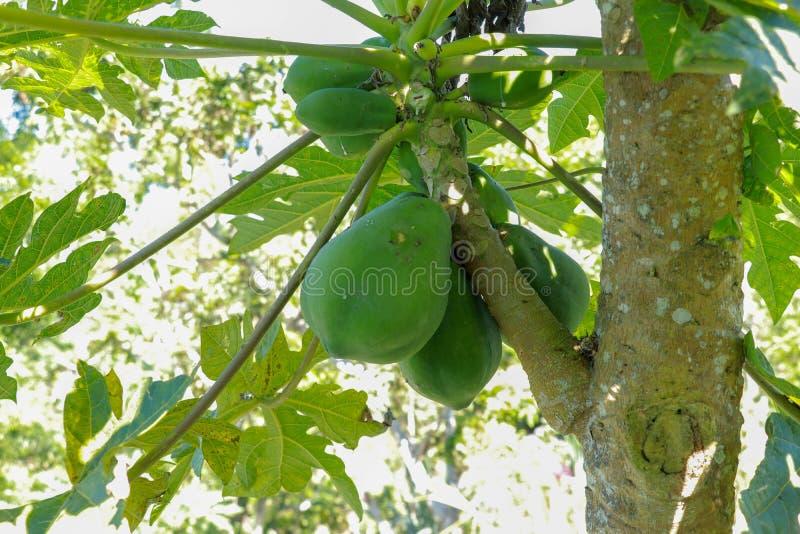 Vue en gros plan des fruits mûris de papaye accrochant dans une couronne d'arbre Couleur verte fra?che Fruit frais à arracher R?g photos stock