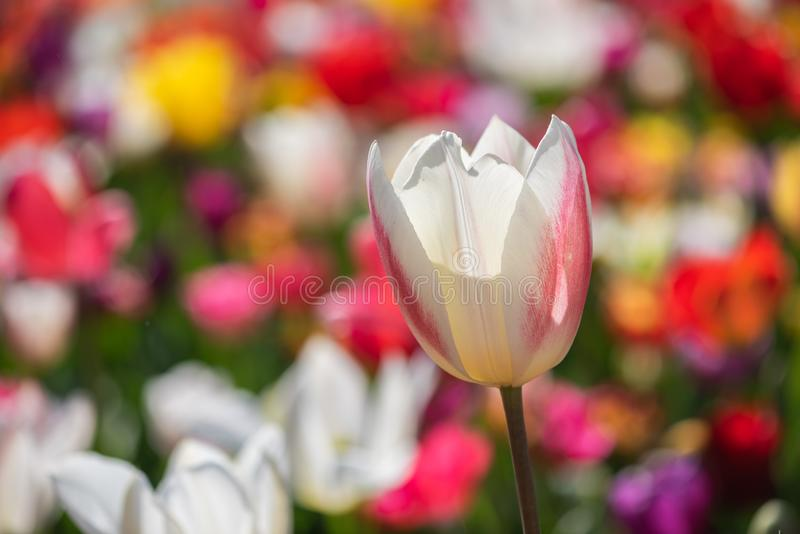 Vue en gros plan des tulipes multicolores photos libres de droits