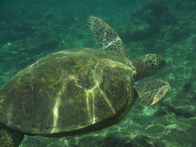 Vue fantastique d'une tortue de mer sous-marine image stock