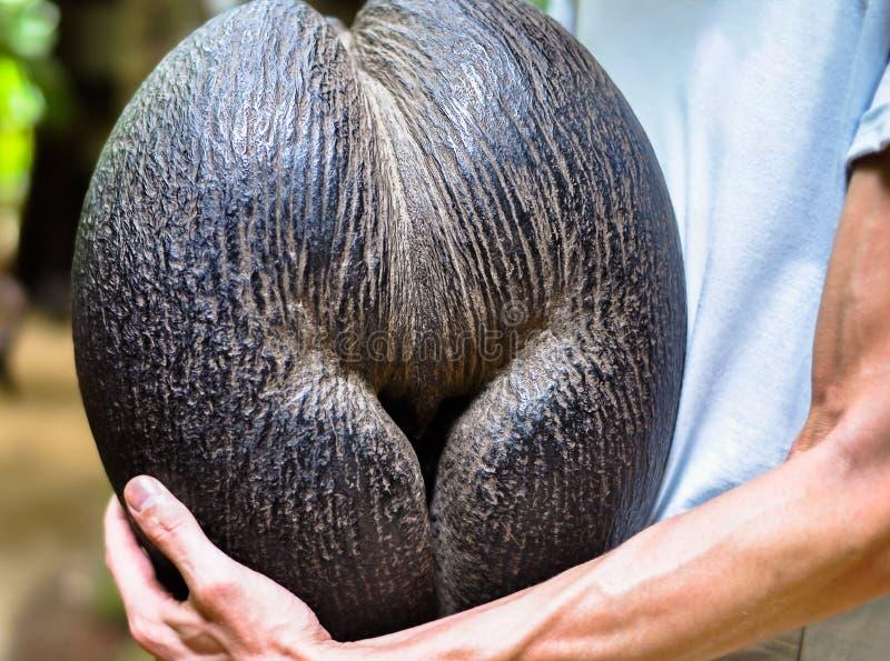 Vue femelle de plan rapproché d'objets exotiques de mer de Cocos de noix de coco image stock