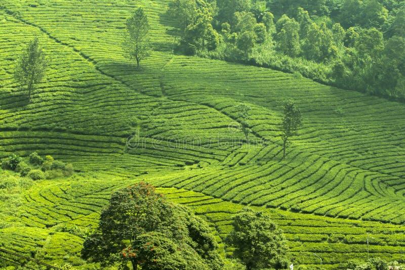 Vue fraîche de jardin de thé vert photographie stock libre de droits