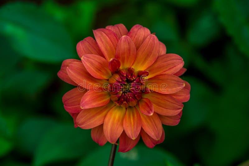 Vue franche étroite de vue de fleur de rouge de dahlia photos stock