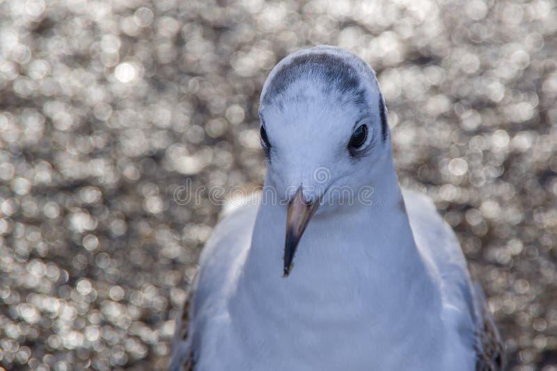 Vue franche étroite du chef blanc de pigeon et du corps supérieur photographie stock libre de droits