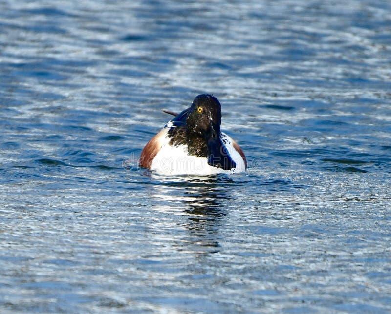 Vue frontale d'un canard souchet du nord masculin photos stock
