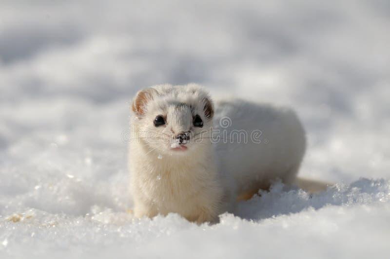 Vue frontale de moins belette dans la neige image stock