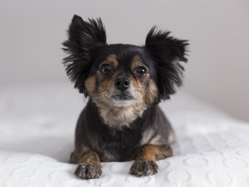 Vue frontale du chiwawa aux cheveux longs brun et noir mignon se couchant photo stock