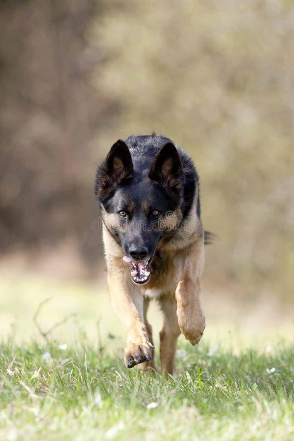 Vue frontale puissante courue de chien de berger allemand photos stock