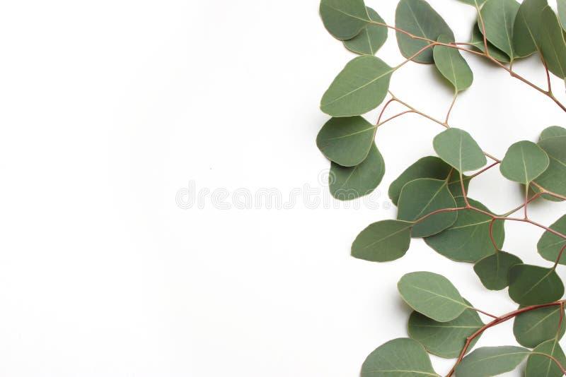 Vue, frontière faite de feuilles cinerea d'eucalyptus vert de dollar en argent et branches sur le fond blanc Composition florale photographie stock libre de droits