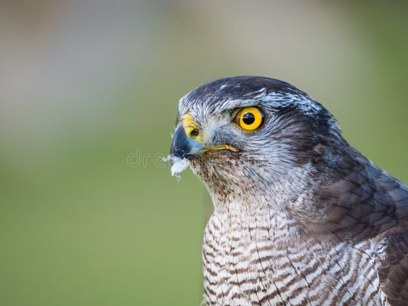 Vue haute étroite d'un faucon hybride photos libres de droits