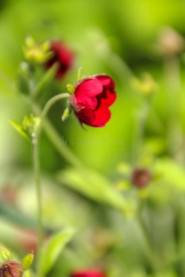 Vue haute étroite d'une belle fleur rouge minuscule sur le fond vert jaunâtre de pré photo stock
