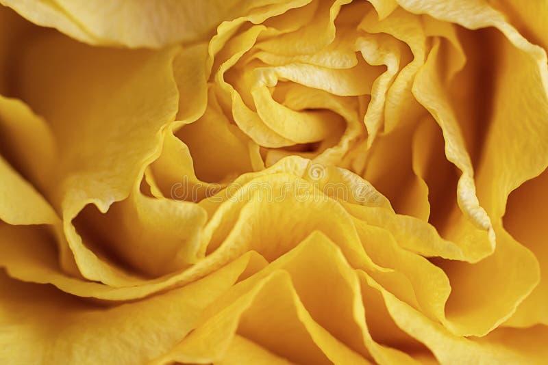 Vue haute étroite d'une belle rose jaune lumineuse avec les courbes abstraites des pétales Billet de banque remodel? nouvelle par image stock