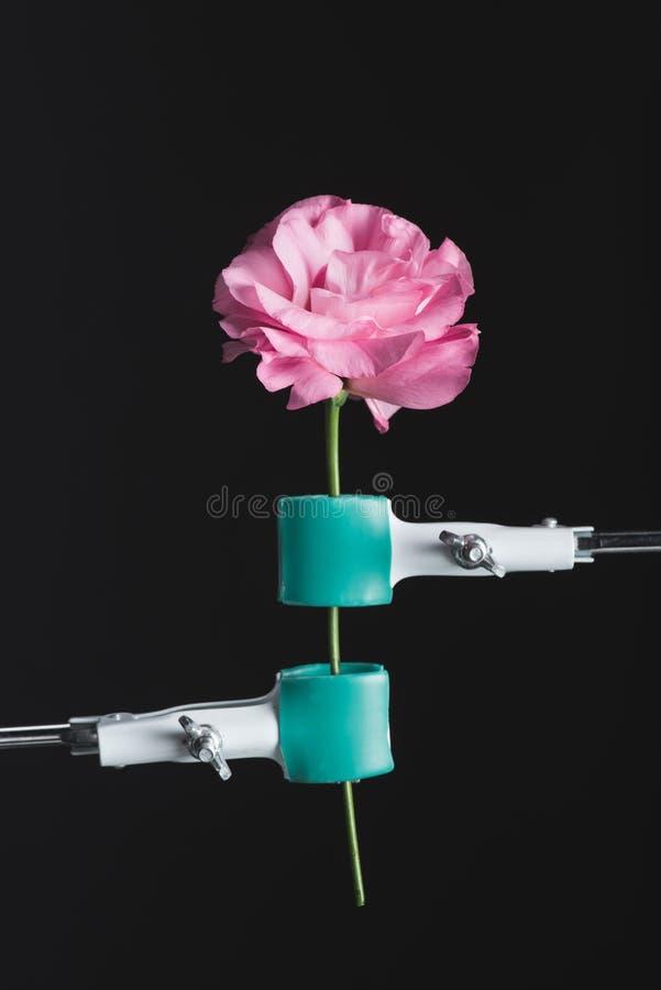 vue haute étroite de belle rose de floraison rose et de replis photos libres de droits