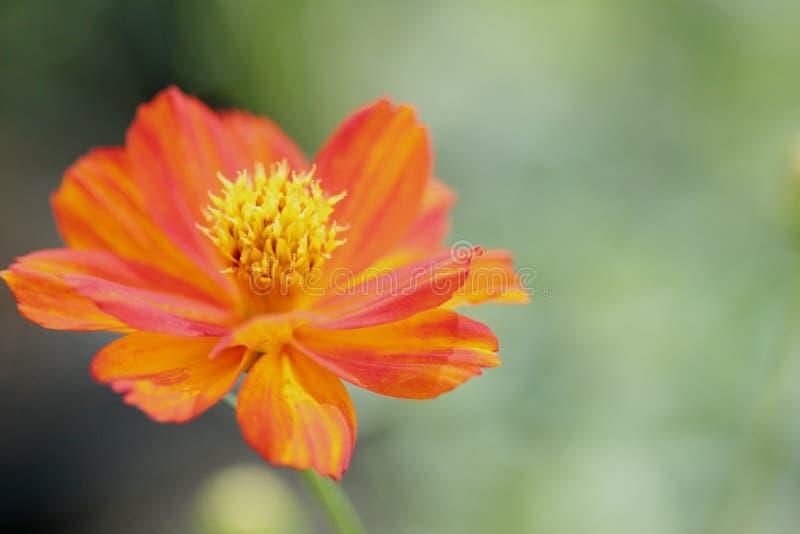 Vue haute étroite de bourdonnement de fleur orange de cosmos avec le pollen de détail sur le fond mou de tache floue photo stock