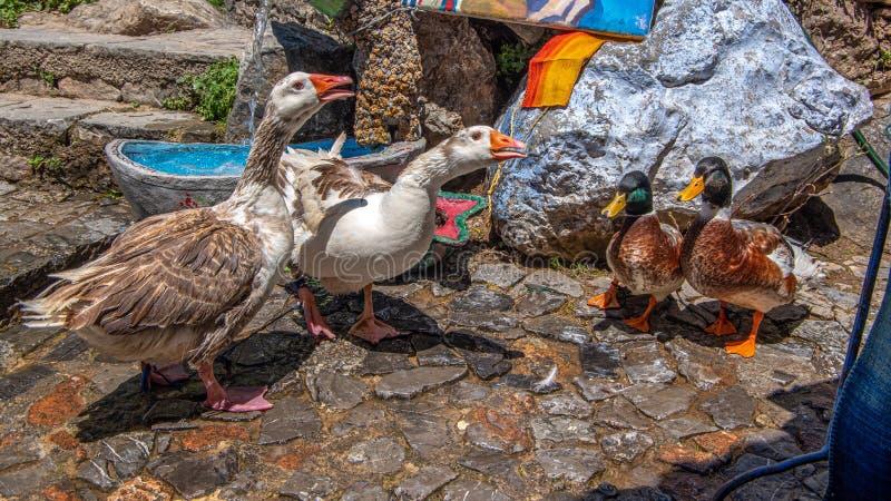 Vue haute étroite de deux canards et de deux oies image stock