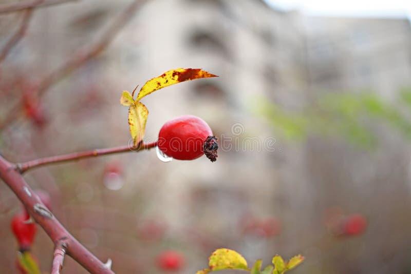 Vue haute étroite de hanche rose rouge Papier peint pour la nature L'eau laisse tomber l'égoutture de l'arbre de cynorrhodons Fon image libre de droits
